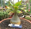 Adenium - My collections